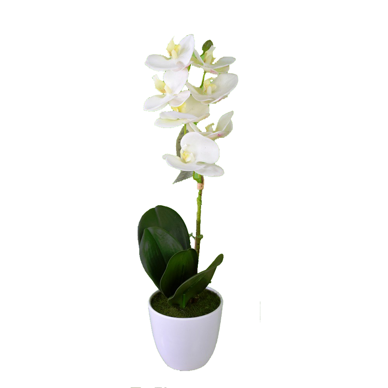 Potted Phalaenopsis White Orchid