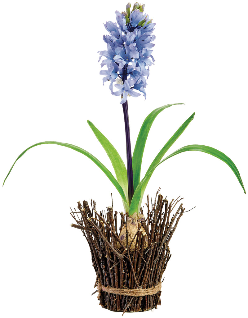 Hyacinth with Bulb in Pot