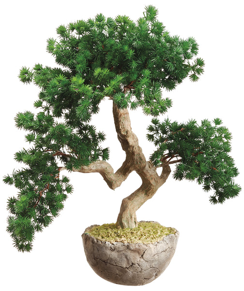 Ming Pine Bonsai Tree in Cement Pot