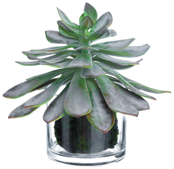 Echeveria Plant in Glass Vase