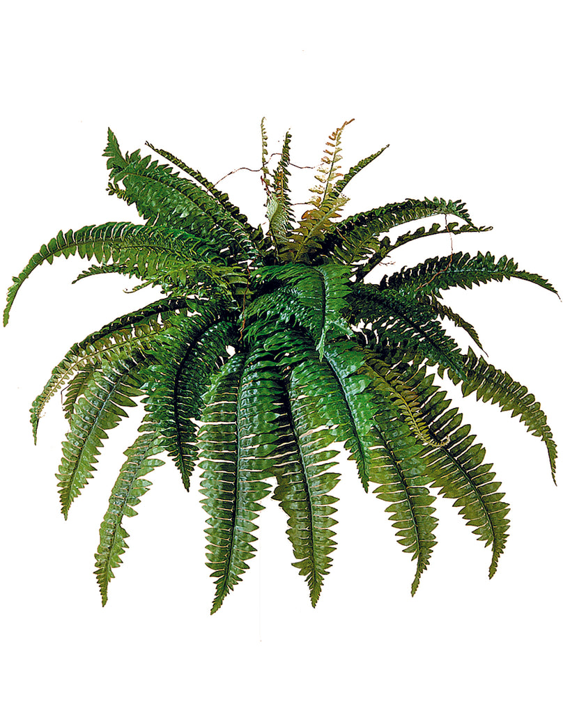 State Boston Fern