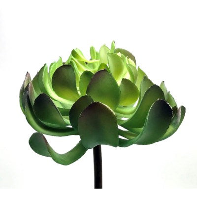 Green Aeonium PIck