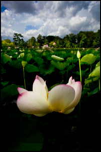 Lily Trotters' photographer Tom Wolff captures the beauty of blooming lotuses in Washington, DC. www.tomwolffphoto.com