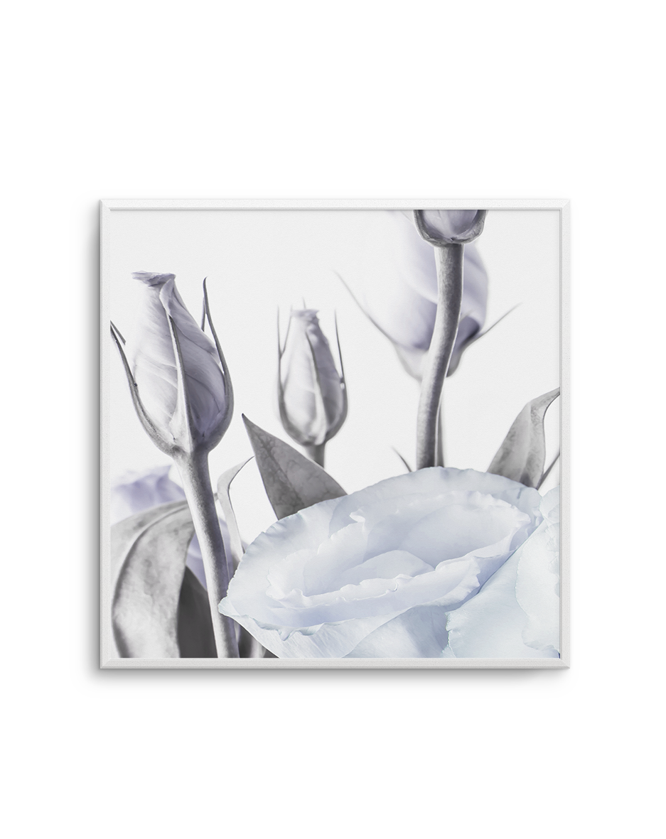 BLUE LISIANTHUS NO 2 SQ