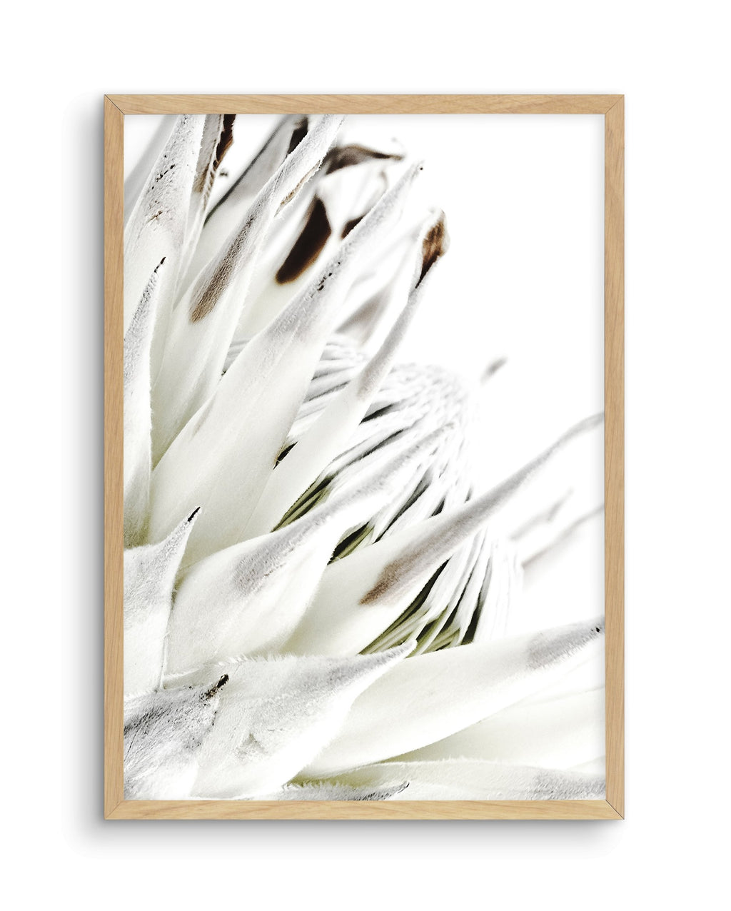 White King Protea - Olive et Oriel | Shop Art Prints & Posters Online