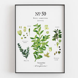 Ranunculus- Boxwood- Buttercup Botanical Art Prints (Set of 3) - Linen and Ivory