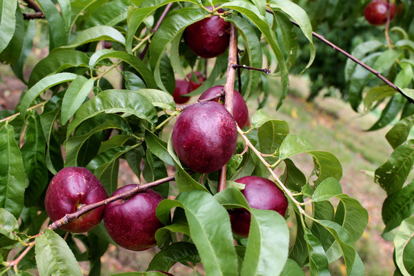 Close up of the almost-ripe nectarines at Peach Pickin' Paradise.