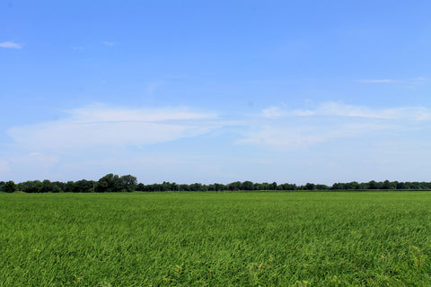 Rice field in Cash, Arkansas