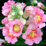 35 Mixed Snapdragon Seeds- #1353