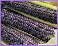 35 Giant Southwestern Blue Indian Maize  Seeds 1365