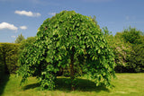 20 Black Mulberry  seeds  1369