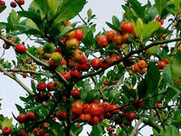 7 Mayhaw tree seeds 1370