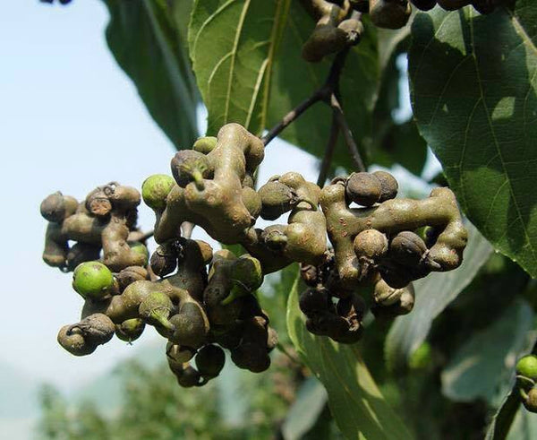 7 Japanese Raisin Tree seeds  1372