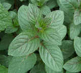 100 Peppermint Seeds-1093