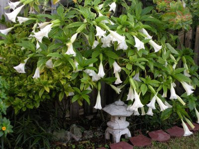 25 White Angel Trumpet Seeds-1076