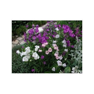 15 Canterbury Bells Cup & Saucer Flower Seeds-1238