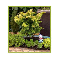 8 Gold Hinoki Cypress Tree Seeds-1236