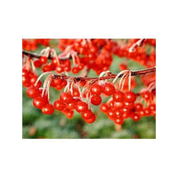 5 Dwarf Crabapple Tree Seeds-1231