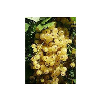 15 White Currant Seeds-1222