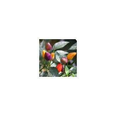25 Bolivian Rainbow Chili Pepper Seeds-1031