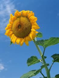 7 Giant Hybrid Sunflower-1257