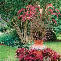 15 Blood Red Fountain Grass Seed-1267