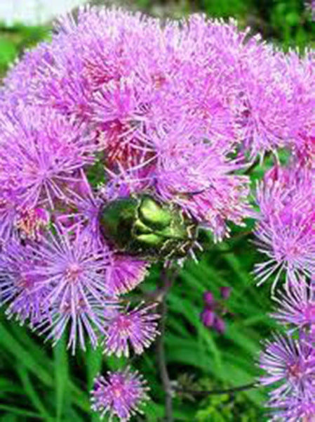 7 Powder Puff Plant Seeds-1053A