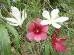 10 Giant Texas Star Hibiscus Seeds-1075A