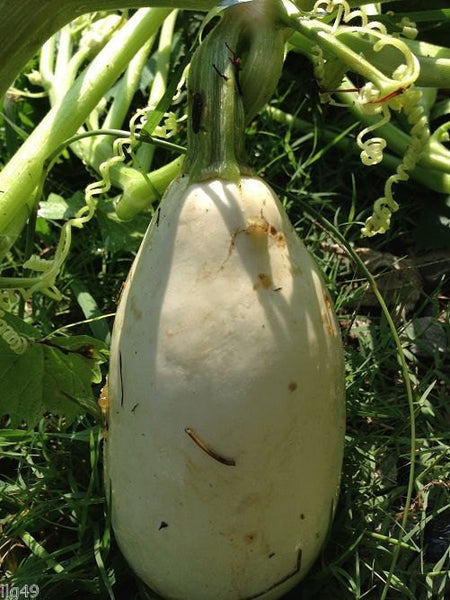 7 Mexican White Squash Seeds-1292
