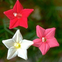 20 Mixed Lot Cypress Vine Seeds-1295