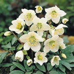 10 Christmas Rose Seeds-1088