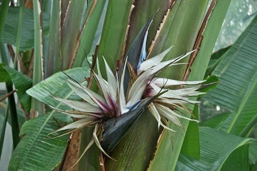 7 Giant Bird of Paradise Seeds-1109A