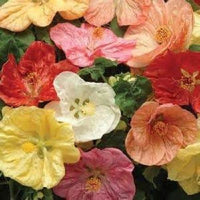 15 Flowering giant maple Mix Seeds-1082