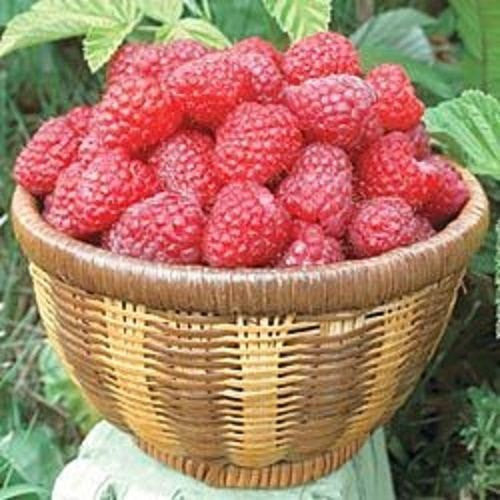 25 Giant Raspberry Seeds-1089A