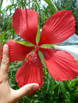 10 Giant Red Star Hibiscus Seeds-1096A
