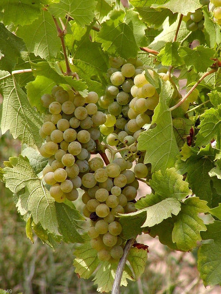 5 Tame White Grape Vine Seeds-1128