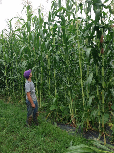 35 Tall Giant Goliath White Corn Seeds-1206