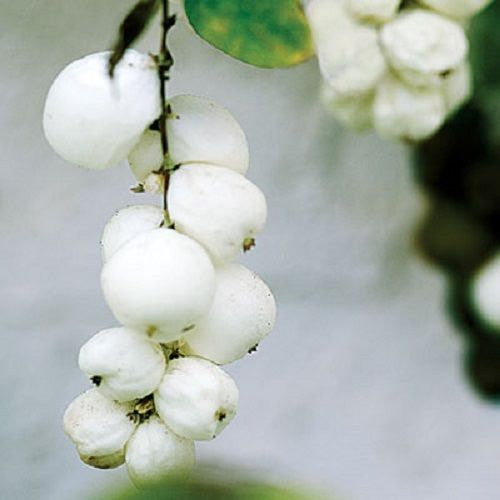 7 Snowberry Bush Seeds-1121