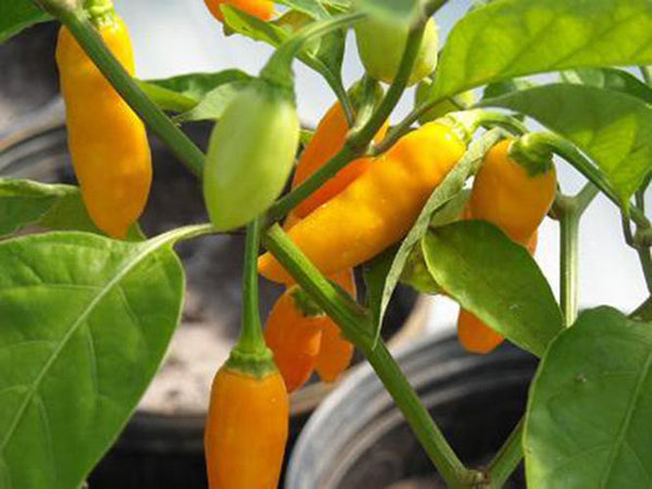 25 Datil Pepper Seeds-1131A