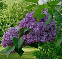 5 French Lilac Tree Seeds-1146
