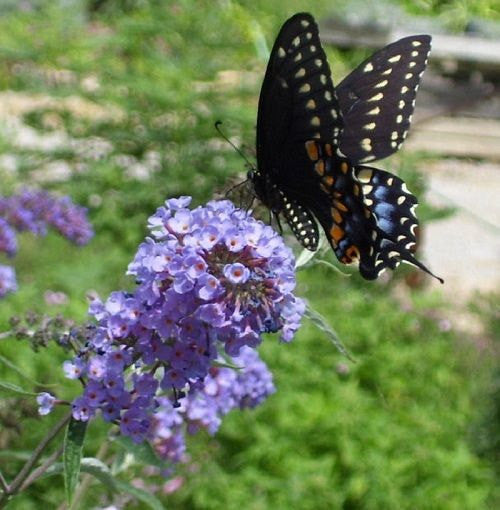 10 Butterfly Bush Seeds-1137