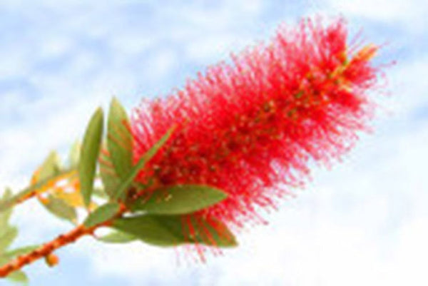 25 Crimson BottleBrush Bush Seeds-1138