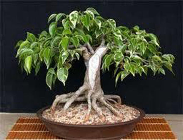 7 Weeping Fig Seeds-1139A