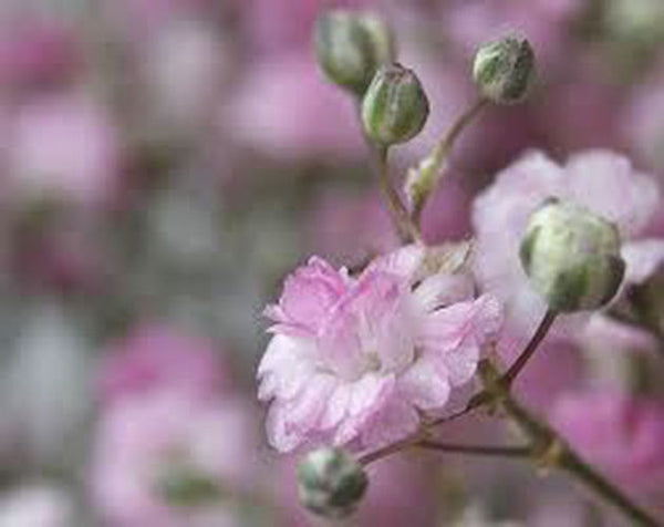 15 Pink Creeping Baby's Breath Seeds-1139B