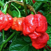 25 Trinidad Scorpion Pepper Seeds-1150A