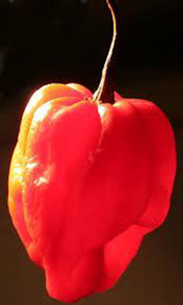 25 Carribean Red Pepper Seeds-1161C