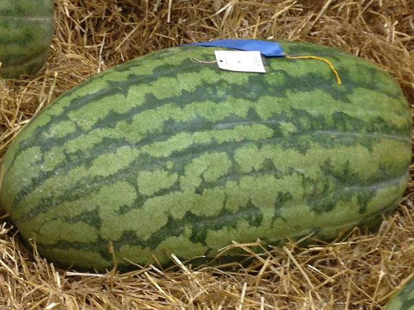 10 Carolina Cross Watermelon Seeds-1162