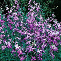 25 Evening Stock Jasmine Seeds-1185