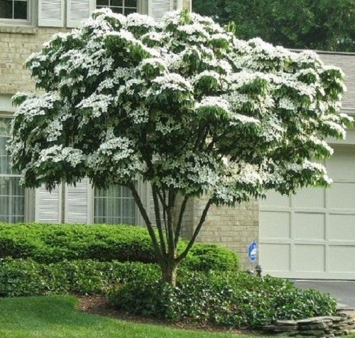 7 Chinese Kousa Dogwood Tree Seeds-1204