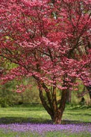 10 Red Dogwood Tree Seeds-1193B